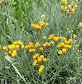 Strohblume Silbernadel - Currystrauch - Helichrysum italicum
