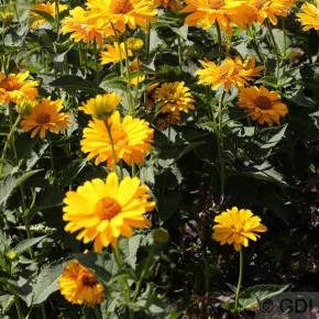 Sonnenröschen Summer Sun - Heliopsis helianthoides