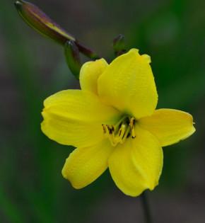 Taglilie Corky - Hemerocallis cultorum