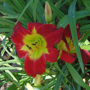 Taglilie Christmas Is - Hemerocallis