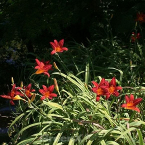 Taglilie Crimson Glory - Hemerocallis cultorum