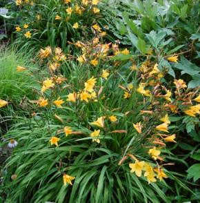 Taglilie Golden Chimes - Hemerocallis cultorum