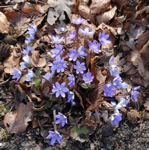 Siebenbürger Leberblümchen Blue Jewel  - Hepatica transsilvanica