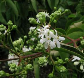 Sieben Söhne des Himmels Strauch 40-60cm - Heptacodium miconioides