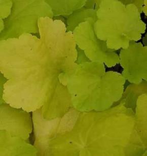 Purpurglöckchen Citronella - Heuchera villosa