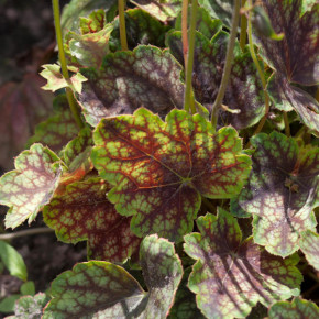 Purpurglöckchen Beauty Colour - Heuchera micrantha