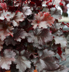 Purpurglöckchen Black Beauty - Heuchera micrantha