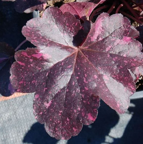 Purpurglöckchen Midnight Rose - Heuchera micrantha