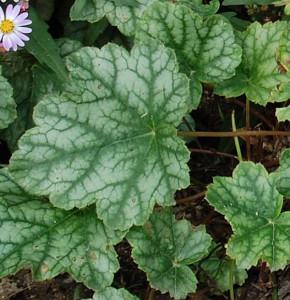 Purpurglöckchen Mint Frost - Heuchera micrantha