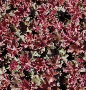 Purpurglöckchen Purple Petticoats - Heuchera micrantha