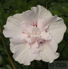 Garteneibisch French Cabaret Pastel 60-80cm - Hibiscus