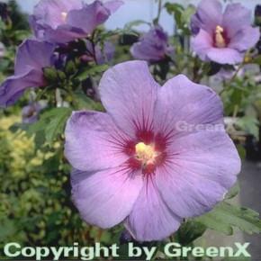 Garteneibisch Marina 30-40cm - Hibiscus