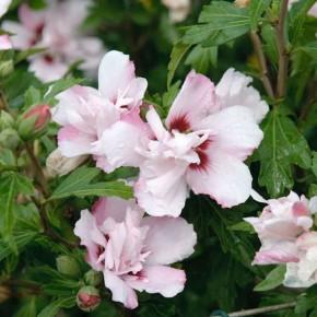 Garteneibisch Pinky Spot 60-80cm - Hibiscus