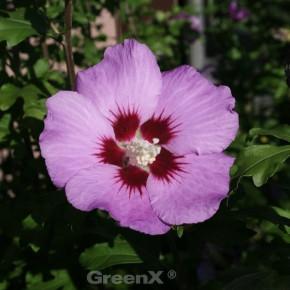 Garteneibisch Russian Violet 40-60cm - Hibiscus