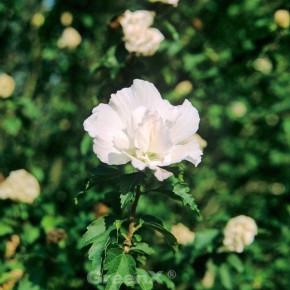Garteneibisch White Pillar 60-80cm - Hibiscus