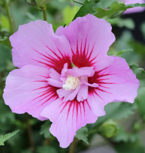 Garteneibisch Maike 40-60cm - Hibiscus syriacus