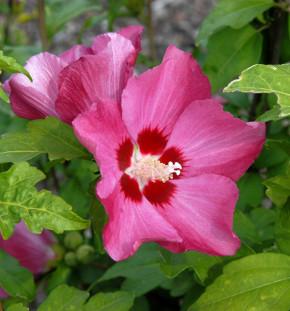 Rosen Eibisch Woodbridge 80-100cm - Hibiscus