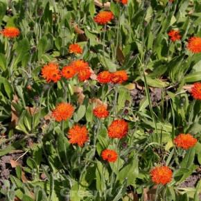 Rotes Habichtskraut - Hieracium rubrum