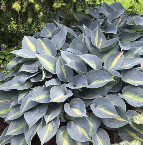Funkie Grand Marquee - Hosta cultorum
