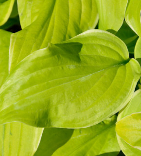 Funkie Sweetie - Hosta cultorum