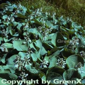 Blaublattfunkie - Hosta sieboldiana