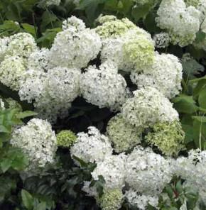 Bauernhortensie Schneeball 25-30cm - Hydrangea macrophylla