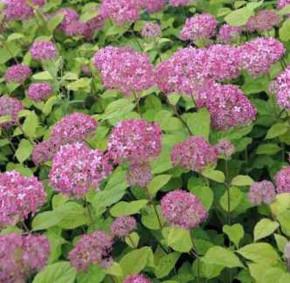 Ballhortensie Pink Percusion 40-60cm - Hydrangea arborescens