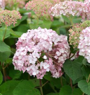Ballhortensie Sweet Annabelle 40-60cm - Hydrangea arborescens