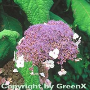Fellhortensie 100-125cm - Hydrangea aspera