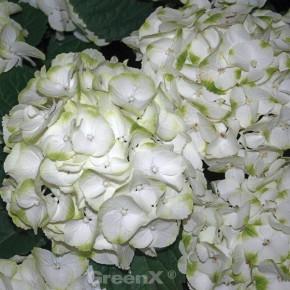 Bauernhortensie Caipirinha® 30-40cm - Hydrangea macrophylla
