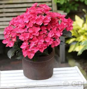 Bauernhortensie Dark Angel 30-40cm - Hydrangea macrophylla
