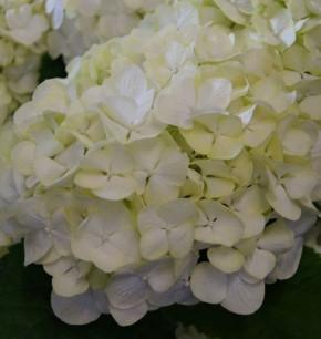 Bauernhortensie Everbloom White Wonder® 30-40cm - Hydrangea macrophylla