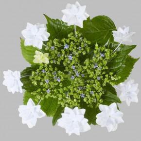 Bauernhortensie Fireworks White® 60-80cm - Hydrangea macrophylla