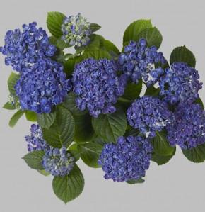 Bauernhortensie Hopcorn® 30-40cm - Hydrangea macrophylla