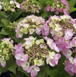 Bauernhortensie Mirage 30-40cm - Hydrangea macrophylla