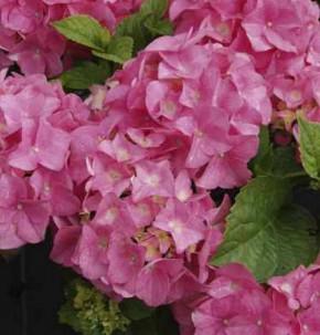 Bauernhortensie Pink Beauty 40-60cm - Hydrangea macrophylla