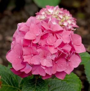 Bauernhortensie Red Baron 60-80cm - Hydrangea macrophylla