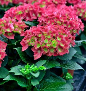 Bauernhortensie Royal Red® 25-30cm - Hydrangea macrophylla