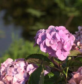 Bauernhortensie Semperflorens 40-60cm - Hydrangea macrophylla