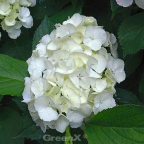 Bauernhortensie Wudu® 40-60cm - Hydrangea macrophylla