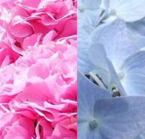 Bauernhortensie in Farbsorten gemischt 40-60cm - Hydrangea macrophylla
