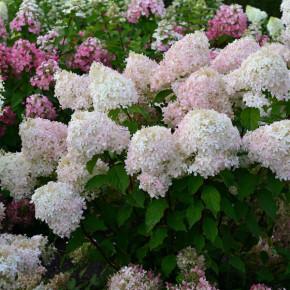 Rispenhortensie Pinkachu 30-40cm - Hydrangea paniculata