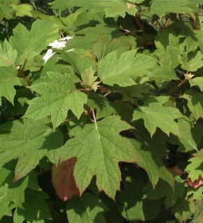 Eichenblättrige Hortensie Amethyst 40-60cm - Hydrangea quercifolia