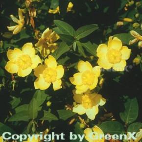 10x Großblumiges Johanniskraut Hidcote 15-20cm - Hypericum