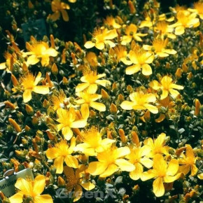 Polster Johanniskraut Grandiflorum - Hypericum polyphyllum