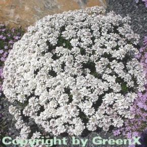 Schleifenblume Snowflake - Iberis sempervirens