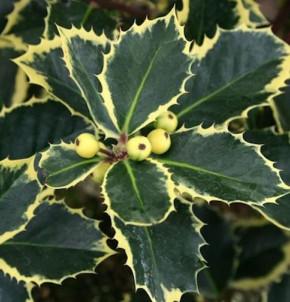 Gelbbunte Stechpalme Aurea 25-30cm - Ilex aquifolium