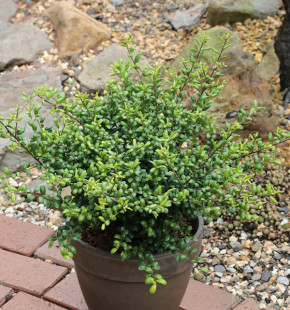 Hochstamm Löffel Ilex Stechpalme 60-80cm - ilex crenata