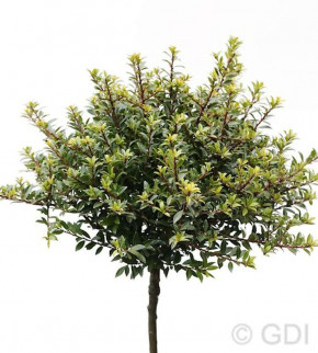 Hochstamm Löffel Ilex Glorie Dwarf 60-80cm - Ilex crenata