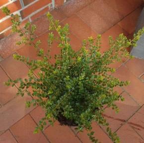 Breite Berg Ilex Shogun 20-25cm - Ilex crenata